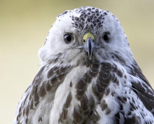 Common buzzard, Buteo buteo, Myszołów, biały myszołów, Rezerwat Świdwie, Puszcza Wkrzańska