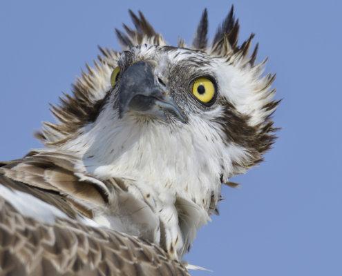 Rezerwat Świdwie, Puszcza Wkrzańska, The osprey, fish hawk, rybołów