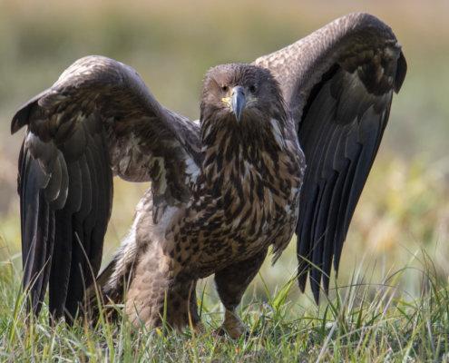 Rezerwat Świdwie, Puszcza Wkrzańska, White-tailed eagle, Bielik, birkut, Haliaeetus albicilla